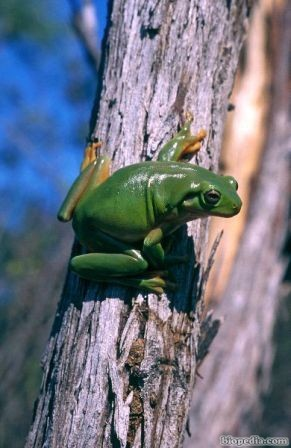 rana arboricola verde australiana