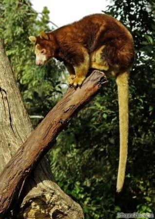 canguro arboricola