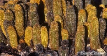 cactus de lava