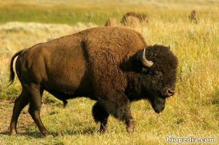 Q Es Un Bisonte bisonte de montana
