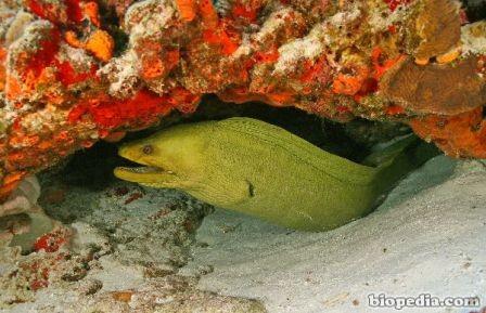 anguila morena