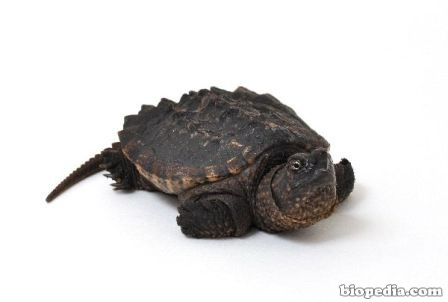 Tortuga caimán | BIOPEDIA