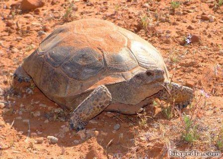 tortuga del desierto