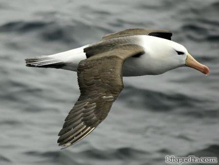 albatros de ceja negra