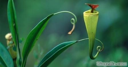 planta jarra carnivora de madagascar