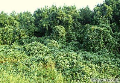 planta invasora