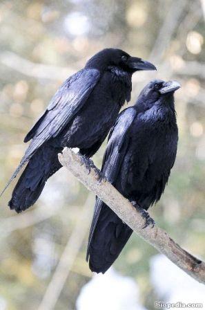 cuervo comun