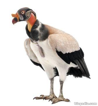 C ndor real biopedia for Colores condor