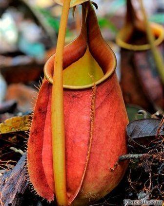 planta jarra carnivora