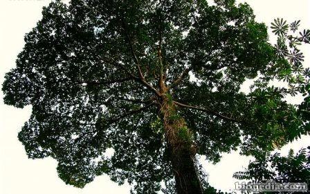 Árbol de castaña | BIOPEDIA