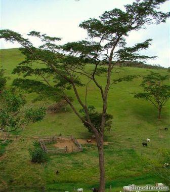 jacaranda de brasil