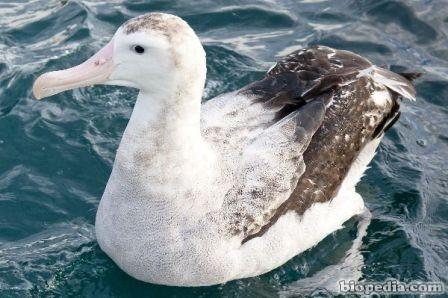 albatros viajero