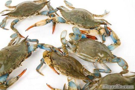 cangrejo azul del atlantico