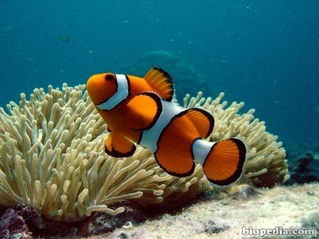 pez pallaso