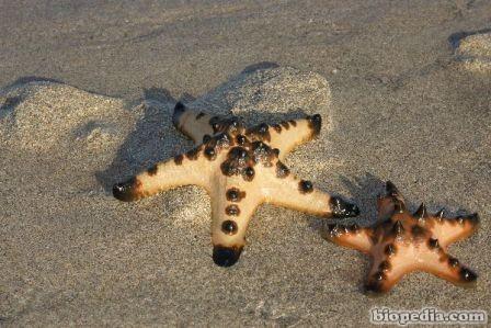 Estrellas De Mar Biopedia