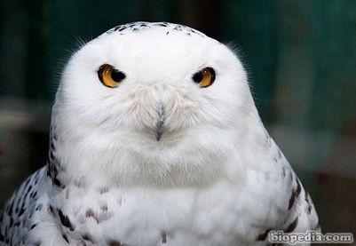 Aves  BIOPEDIA