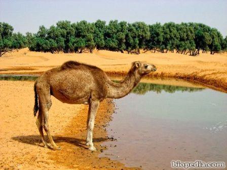 camello dromedario