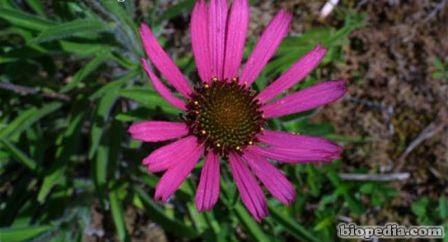 flor conica purpura de tenesse
