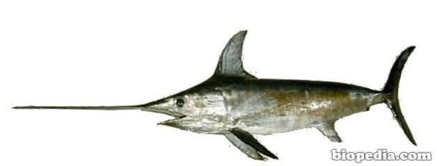 Pez espada biopedia for Curiosidades del pez espada