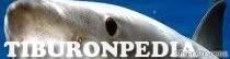 Tiburonpedia