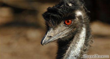 Emu comun