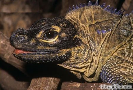 hidrosaurio crestado
