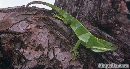 iguana bandeada