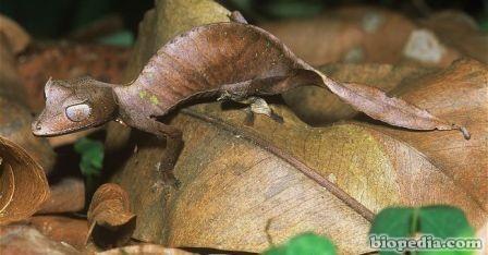 gecko cola de hoja