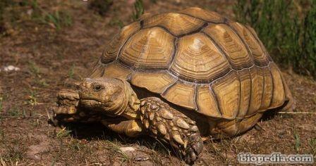 tortuga africana con espuelas