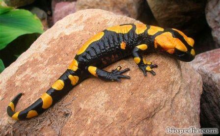 Salamandra de fuego del Norte de África (Salamandra algira) | BIOPEDIA