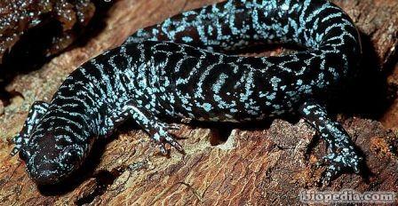 salamandra de flatwoods