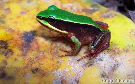 rana de ojos verdes