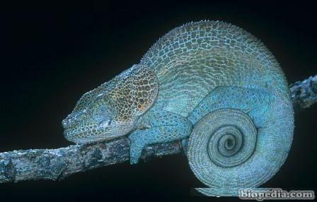 camaleon de cuerno pequeno