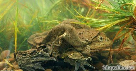 rana gigante del lago titicaca