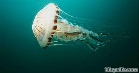 medusa brujula
