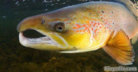 salmon europeo
