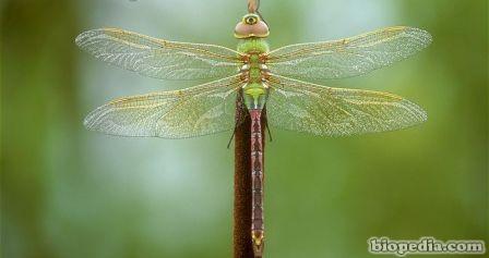 libelula verde