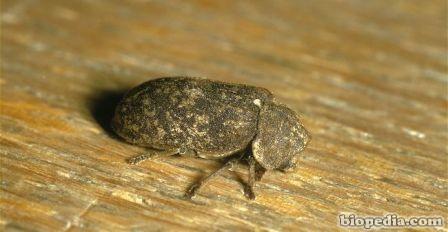 Escarabajo rejoj de muerte