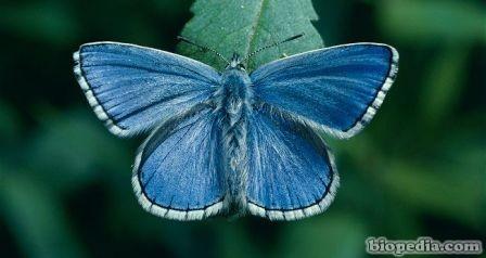 adonis azul