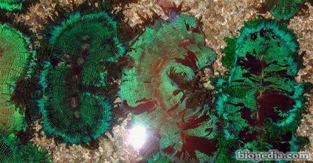 coral elegante