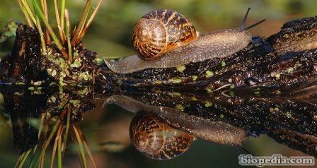 Caracol de jard n helix aspersa biopedia for Caracol de jardin