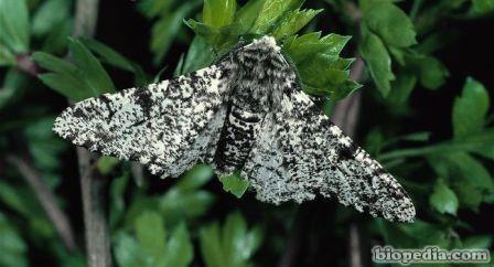 mariposa de abedul