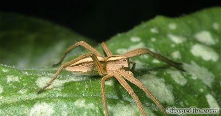 araña nursey