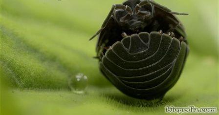 cochinilla pildora