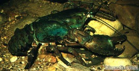 cangrejo gigante de rio