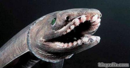 tiburon anguila