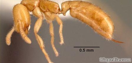 hormiga dracula