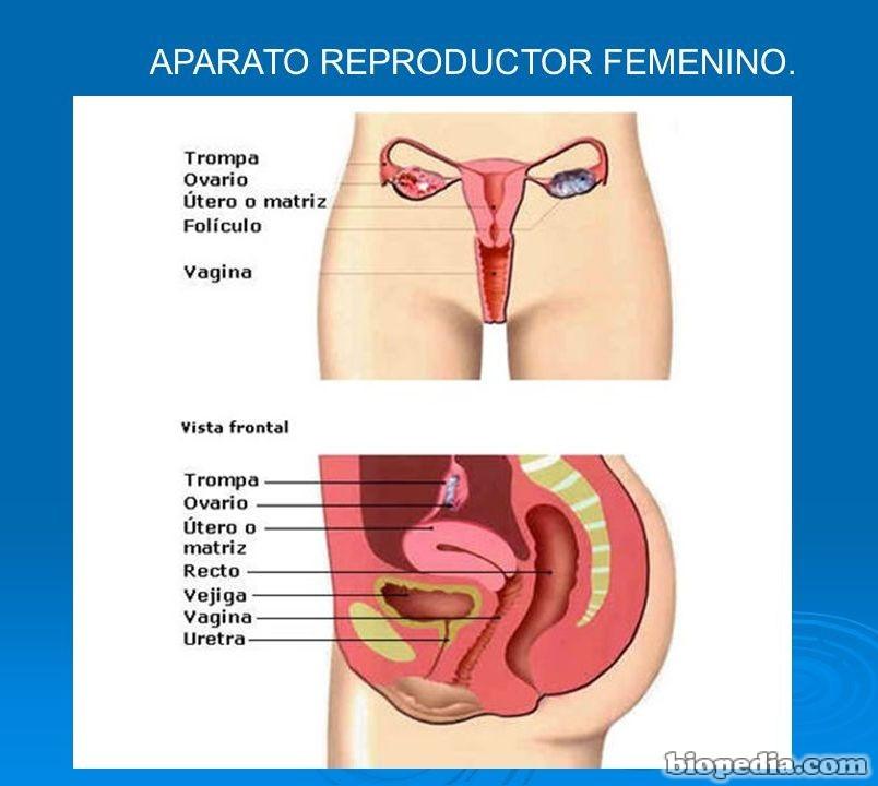 Sistema reproductivo | BIOPEDIA