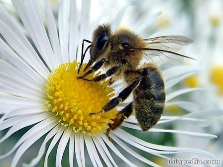 abeja-polinizando
