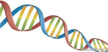 Adn Estructura Y Función Biopedia